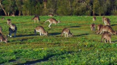 Eastern Kangaroo mob 02, individual hopping into the group wide, late afternoon,NF