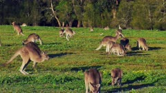 Eastern Kangaroo mob 04, individual hopping into the group wide, late afternoon. 50p