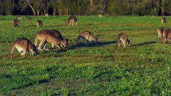 Eastern Kangaroo mob 05, individual hopping into the group wide, late afternoon. 50p