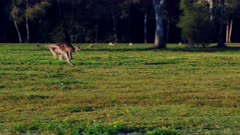 Eastern Kangaroo mob 06, individual hopping into the group wide, late afternoon  slowmotion