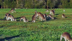 Eastern Kangaroo mob 07, individual hopping into the group wide, late afternoon  slowmotion