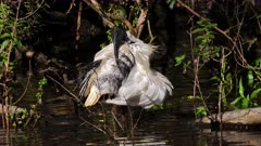 Australian White Ibis on the edge of a pond preening, close