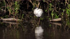 Australian White Ibis on the edge of a pond preening, wide