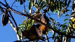 Grey-headed Flying Fox, colony roosting, 03, individual preening, open wings