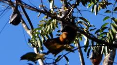 Grey-headed Flying Fox, colony roosting, 04, individual preening, wings open