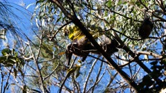 Grey-headed Flying Fox, colony roosting, 05, couple playing, interacting, preening