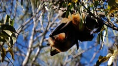 Grey-headed Flying Fox, colony roosting, 06, couple playing, interacting, preening, close