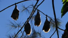 Grey-headed Flying Fox, colony roosting, 07, backlighted