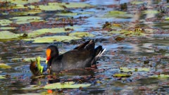 Dusky Moorhen feeding on a pond, a second joins in, feed together and then leaves