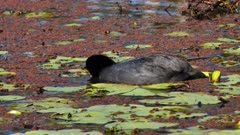 Eurasian Coot feeding on pond, dives, close