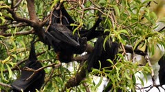Black Flying Fox 01, couple mating, close