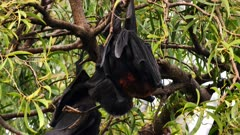 Black Flying Fox 02, couple preening and scratching after mating, close