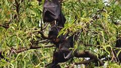 Grey-headed Flying Fox Colony Roosting