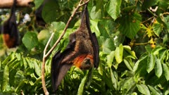 Grey-headed Flying Fox 1/2, arrived from feeding, preens and prepares to roost close