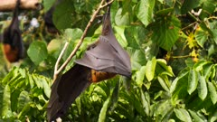 Grey-headed Flying Fox 2/2, finishes preening and wraps with wings to roost  close