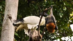 Grey-headed Flying Fox and Australian White Ibis perched, bat leaves