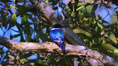 Forest Kingfisher perched, turns the head back and forth, looks down and goes to dive