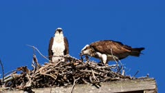 Eastern Osprey on nest tearing prey and feeeding young