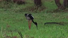 Black-necked Stork captures a snake in a marsh and takes it away