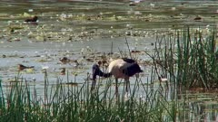 Black-necked Stork swallowing a snake