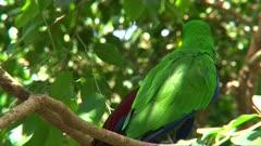 Eclectus Parrot Mating, close