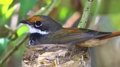 Rufous Fantail  on nest close