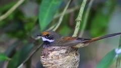 Rufous Fantail  on nest medium