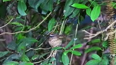 Rufous Fantail  on nest wide