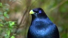Satin bowerbird perched, close, sound of catbird behind