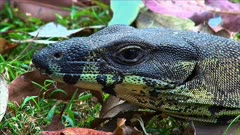 Monitor Lizard,  head close up