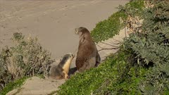 Australian Fur Seal, mother goes to the beach, pup follows, she lays, pup suckling, z.back