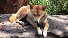 Dingo resting, wide
