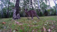 Eastern grey Kangaroo, gimbal shot flees 01 wide