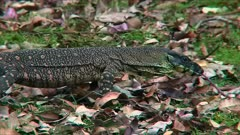 Monitor Lizard, walking, wide, goes out of frame