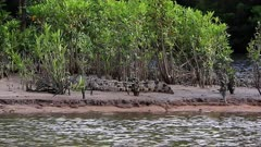 Salty Croc on Daintree River's edge, juvenile , on boat