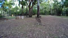 Eastern grey Kangaroo, gimbal shot, flees 02 wide