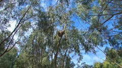 Koala with joy comes down from eucaliptus tree,wide, zoom