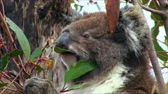 Koala with joy feeding on eucaliptus tree,close up tilt to joy