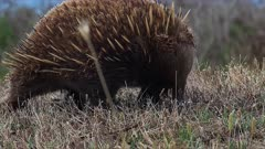 Short-beaked Echidna searching for food, close lateral shot from ground, track