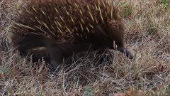 Short-beaked Echidna searching for food, front shot from ground,close