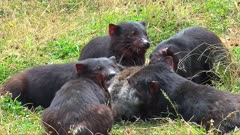 Tasmanian Devil frenzy feeding close