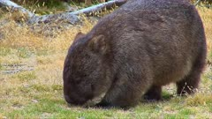 Wombat feeding, zoom in, track