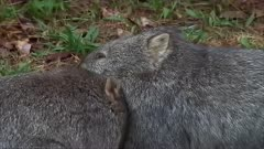 Wombat, two cuddling, zoom