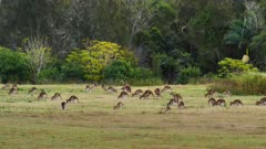 Eastern Grey Kangaroo, big mob grazing at a local cemetery