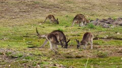 Eastern Grey Kangaroo,small group, male moves in to try to mate, pennis out, female not accepting him