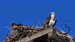Eastern Osprey on nest 08, female stands and preens, male sits on eggs, 50p