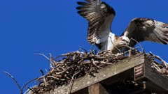 Eastern Osprey on nest, one is flexing the wings before going to hunt