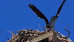 Eastern Osprey on nest, parent ariving with fish, great stir of the chick on the nest