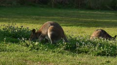 Red-necked Wallaby female feeding on a field of flowers, joy inside, another nearby, closer