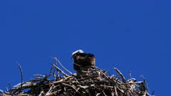 Eastern Osprey on nest, mating 2